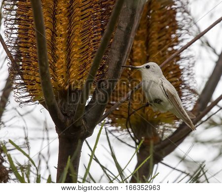 Rare Leucistic Anna's Hummingbird (Calypte anna) feeding on Hairpin Banskia (Banksia spinulosa) flower. Santa Cruz, California, USA.