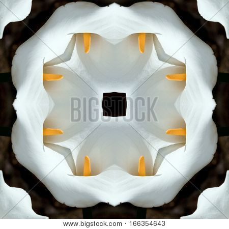 symmetrical photographs of Flower calla, Zantedeschia aethiopica, commonly known as calla,calla lily,  ring Ethiopia, water lily, cartridge, originally from South Africa