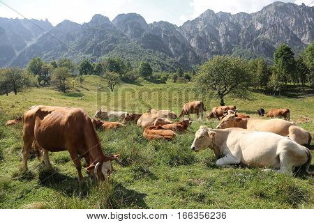 Cows Grazing On The Plateau Near The Italian Alps In Summer