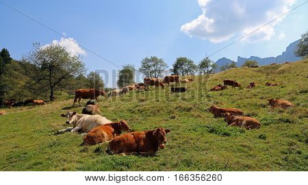 Many Cows Grazing On The Plateau Near The Alps In Summer