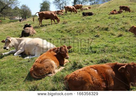 Many Cows Grazing On The Plateau Near The Italian Alps