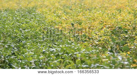 Large Field Cultivated With Soy