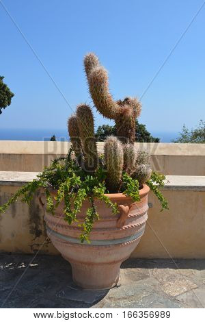 Beautiful greek cactus in the background of ancient wall of Preveli monastery