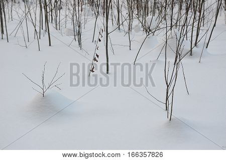 willow thickets under the snow drifts close up