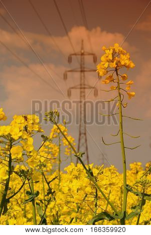 Rapeseed field and electric pylon, Wallachia county