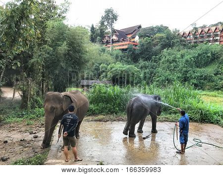 CHIANG RAI THAILAND - JANUARY 8 2017: Mahouts washing their elephants at the Anantara Golden Triangle Elephant Camp a charity designed to help elephants and their handlers.