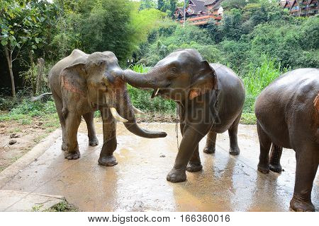 CHIANG RAI THAILAND - JANUARY 8 2017: Elephants at washing area at the Anantara Golden Triangle Elephant Camp a charity designed to help elephants and their handlers.