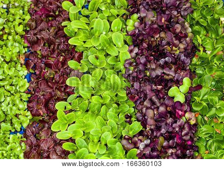Mixed salad, variety in little leaflets. Macro. Mixed salad varieties. Small leaves. Seen from above. Full background.