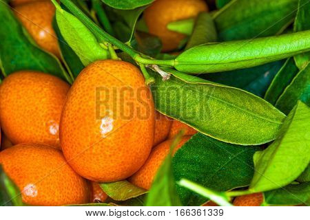 Malayan kumquat fortunella foliage and fruit macro background.  Kumquats are a group of small fruit-bearing trees in the flowering plant family Rutaceae, either forming the genus Fortunella, or placed within Citrus sensu lato.