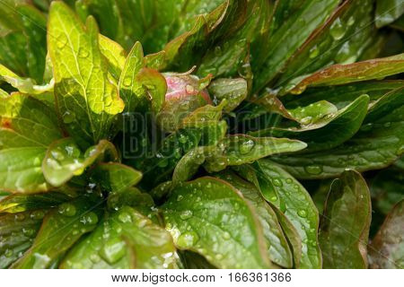 Green leaves with dew drops and burgeon after rain