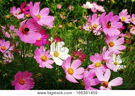 Many pink flowers with two bee in them.