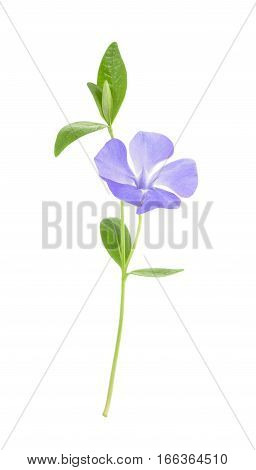 Periwinkle, Vinca Minor Isolated On White. Without Shadow