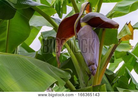 Banana flowers blooming and beautiful red banana blossom hanging on banana tree in the garden