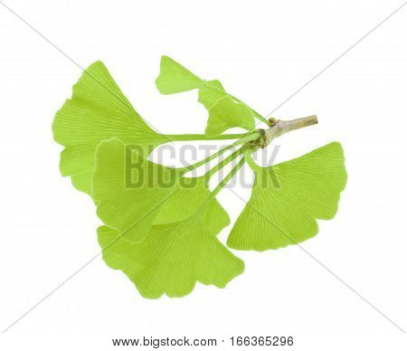 ginkgo biloba leaves isolated without shadow. close up