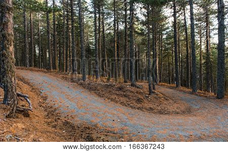 Minor asphalt empty curved road passing through a beautiful forest with tall Pine trees in Autumn at Troodos mountain in Cyprus