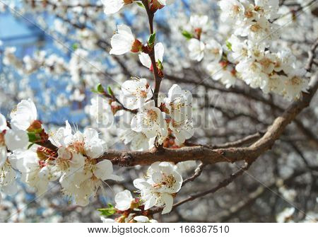 Cherry blossom, spring. Gentle little white flowers in vintage colors