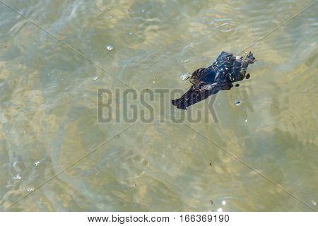 a black sea slug swimming in thewater