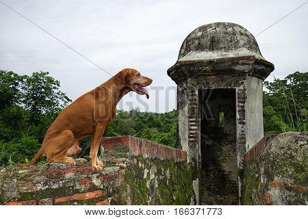 June 10 2016 Colon Panama: golden colour vizsla dog sitting at the ruins of fort San Lorenzo a world heritage site