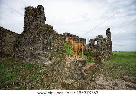 golden colour vizsla dog at old Spanish fort ruins in Panama