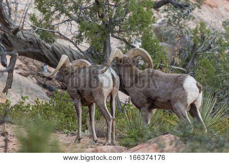 a pair of rutting desert bighorn sheep rams in fall