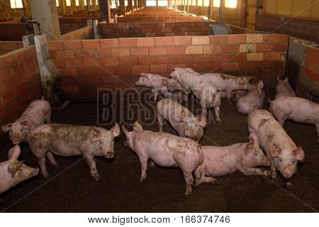 Photo of several fattening pigs on a farm