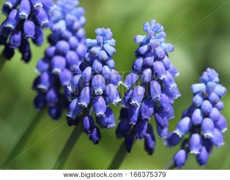 Grape hyacinths are flowers blooming in early spring.