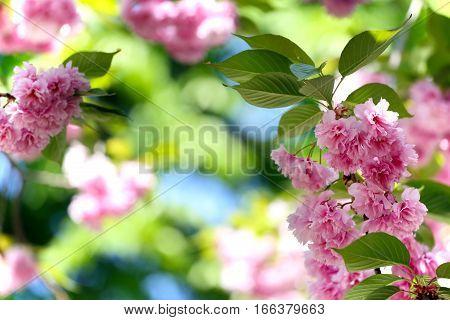 Cherry blossom beautiful sakura. Spring Japan tree