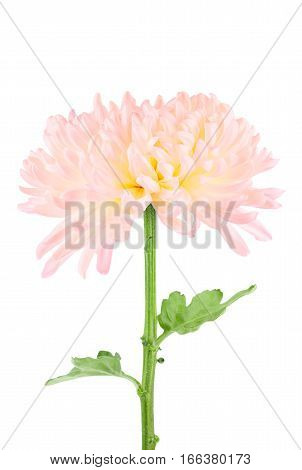 Close up of tinted pink and yellow cremone mum flower isolated on white.