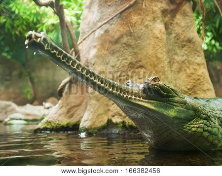 Gharial - Gavialis gangeticus - jaws with 110 teeth in thin snout - critically endangered in IUNC Red list