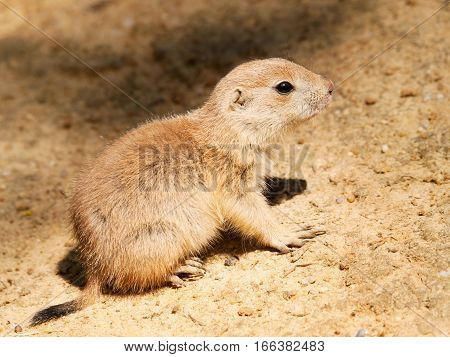 Baby of black tailed prairie dog watching neighbourhood - Cynomys ludovicianus