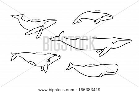 Set Of Whale Species Icons. Vector Illustration Isolated On White Background.
