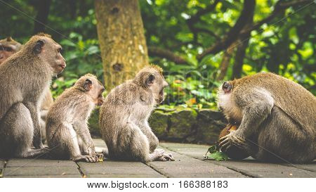 Opening Coconut, Long-tailed macaques, Macaca fascicularis, in Sacred Monkey Forest, Ubud. Indonesia