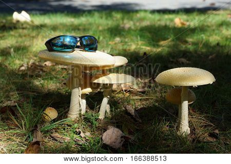 Giant yellow toadstools in sunlight w eye wear