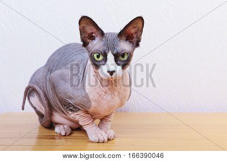 Kitten lying on handbag, cat, sphynx, bald, beautiful, canadian, cute,