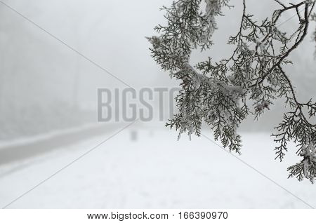 Branch of a conifer tree covered with ice and snow with a road hardly seen on a foggy day