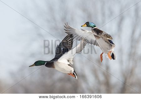 A pair of Flying Drake Mallards in the winter
