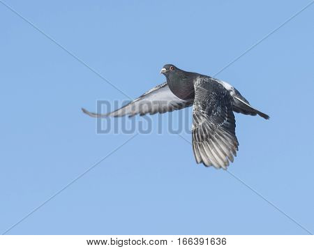 A flying Pigeon on a cold winter day