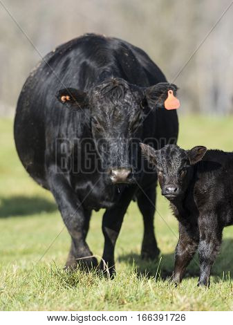 A Black Angus cow and its baby