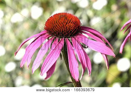 Echinacea Purpurea (Coneflower) a common hardy purple or white perennial, which as a herb is used to stimulate the immune system and has anti depressant properties