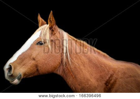 A chesnut quarterhorse mare on a black background.