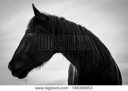 A black horse in black and white.