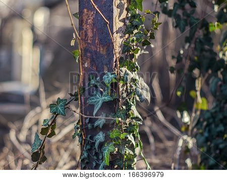 The green ivy growing on a rusty pipe
