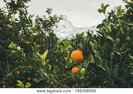 Orange trees with ripe oranges in the mountain garden in Dim Cay district of Alanya, Antalya province, Mediterranean Turkey
