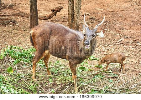 Male Barking deer or muntjac in the wild.