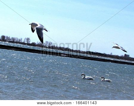 Two gulls in flight over the lake Ontario in Toronto CanadaApril 15 2011