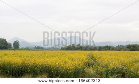 Yellow flower fields in Phetchabun Province of Thailand