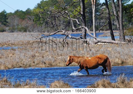 Brown wild pony walking in blue water marshland, trees in background.