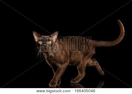 Brown burmese cat running and Looking up, walking on isolated black background, side view