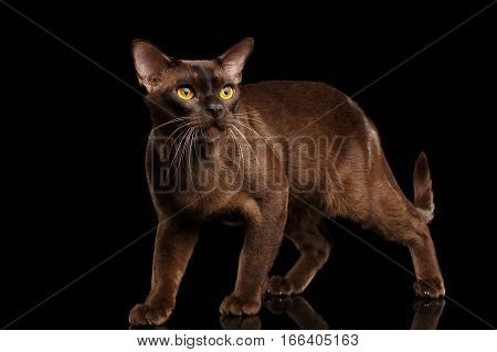 Brown burmese cat Walking and Looking up, chocolate shining fur on isolated black background, front view