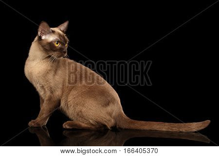 Gorgeous burmese cat with yellow eyes sitting and looking back on isolated black background, side view